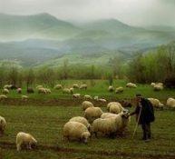 shepherdsheep4